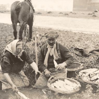 Petite histoire de la culture de l'endive, de la pleine terre à l'hydroponie