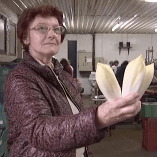 [Vu sur France 3 Picardie] Les producteurs d'endives sont sur le pont !