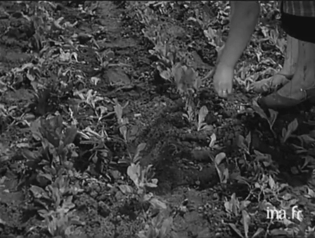 Éclaircissement des plants à la main