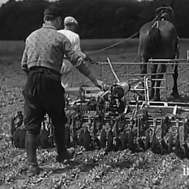 Un documentaire muet nous fait découvrir la production de l'endive... en 1934 !