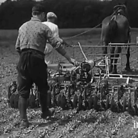Un documentaire muet nous fait découvrir la production de l'endive… en 1934 !