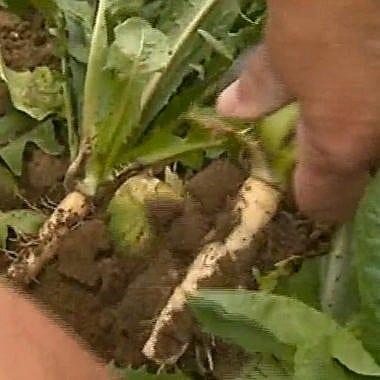 [Vu sur France 3] Les producteurs d'endives confrontés à la sécheresse cet été
